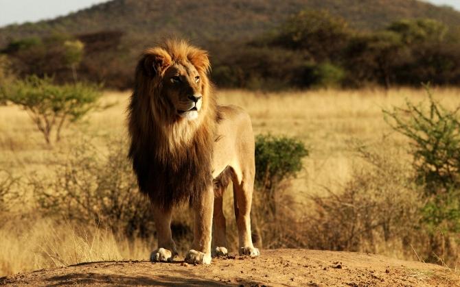 Красивый лев