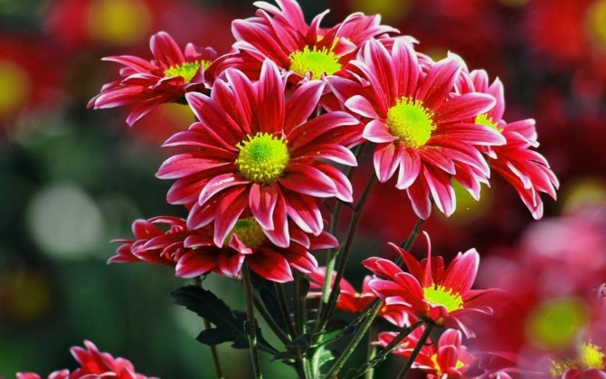 Цветы кустовой хризантемы