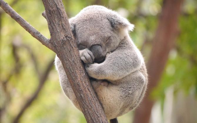 Коала спит на дереве