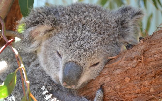 Очаровательная коала