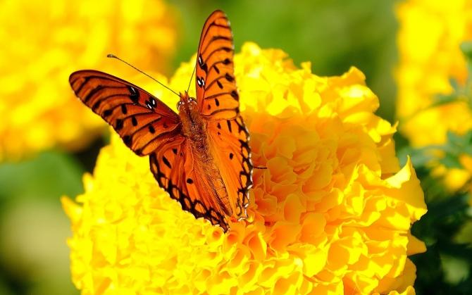 Бабочка на бархатце