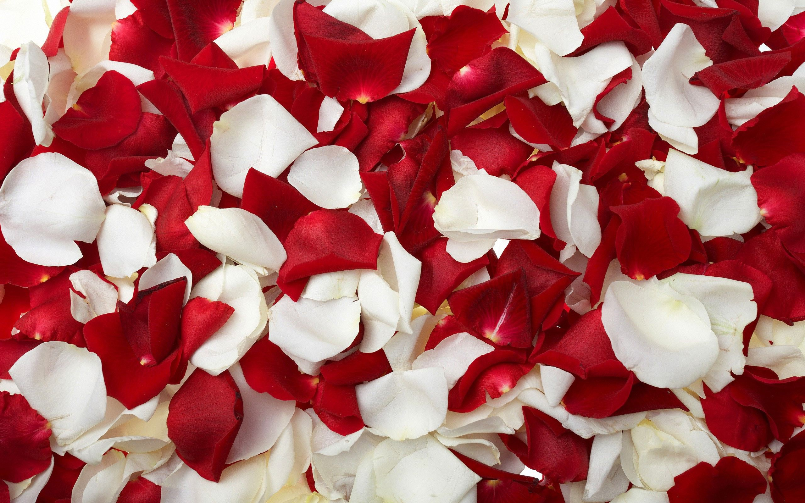 White Rose Petals Wallpaper Red And White Roses Petals