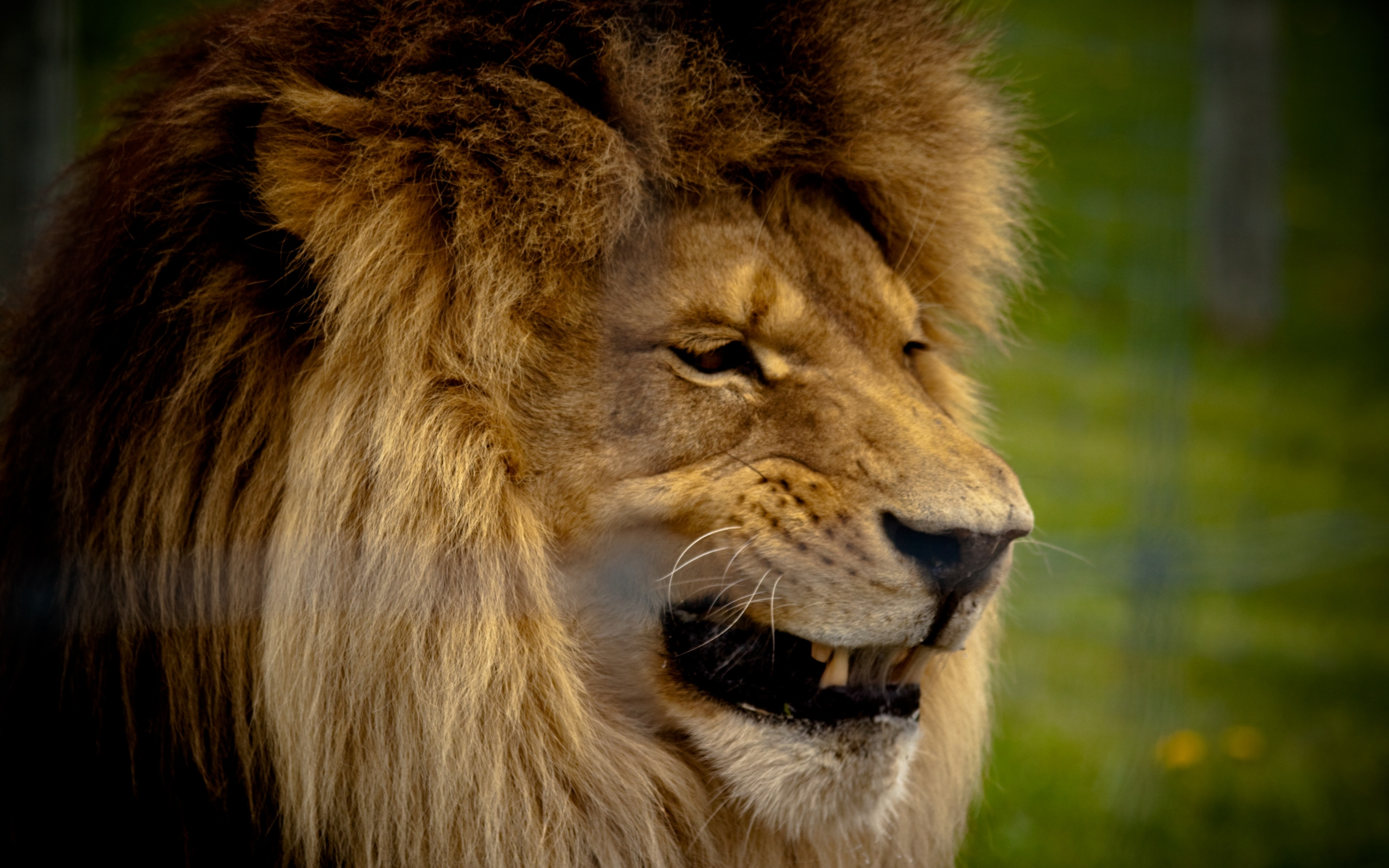фото льва оскал