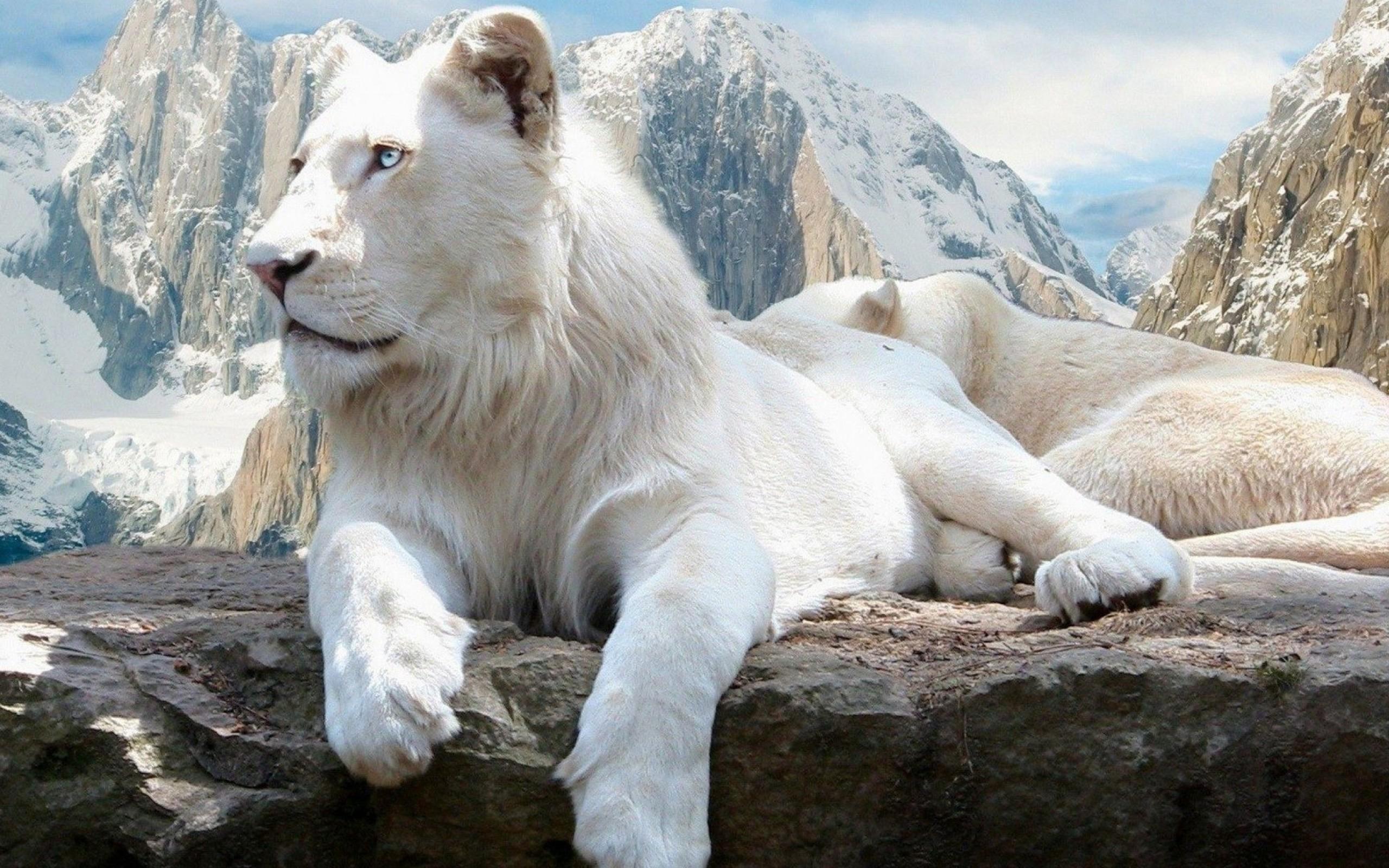 фото высокого разрешения лев белый