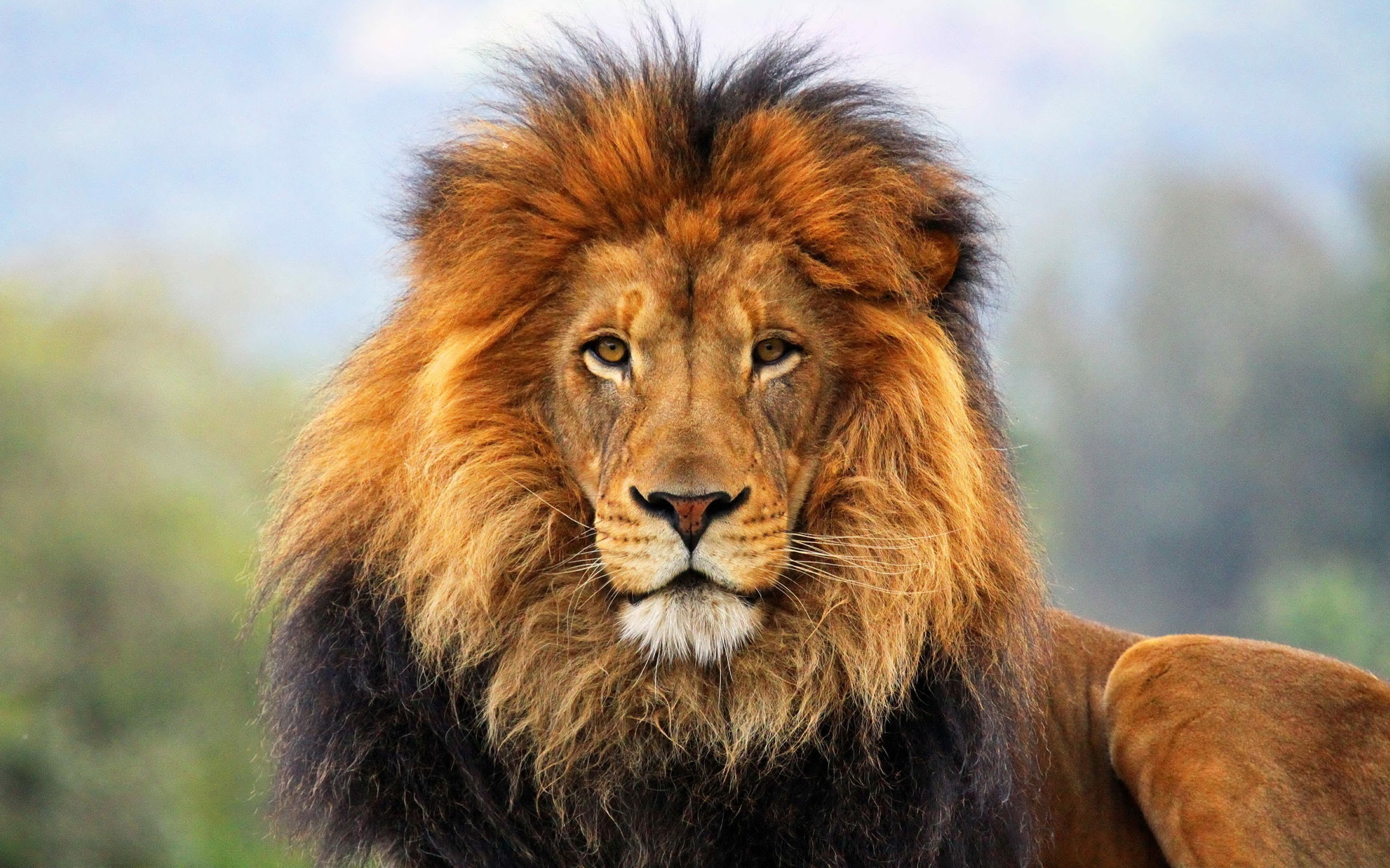 скачать фото льва на телефон