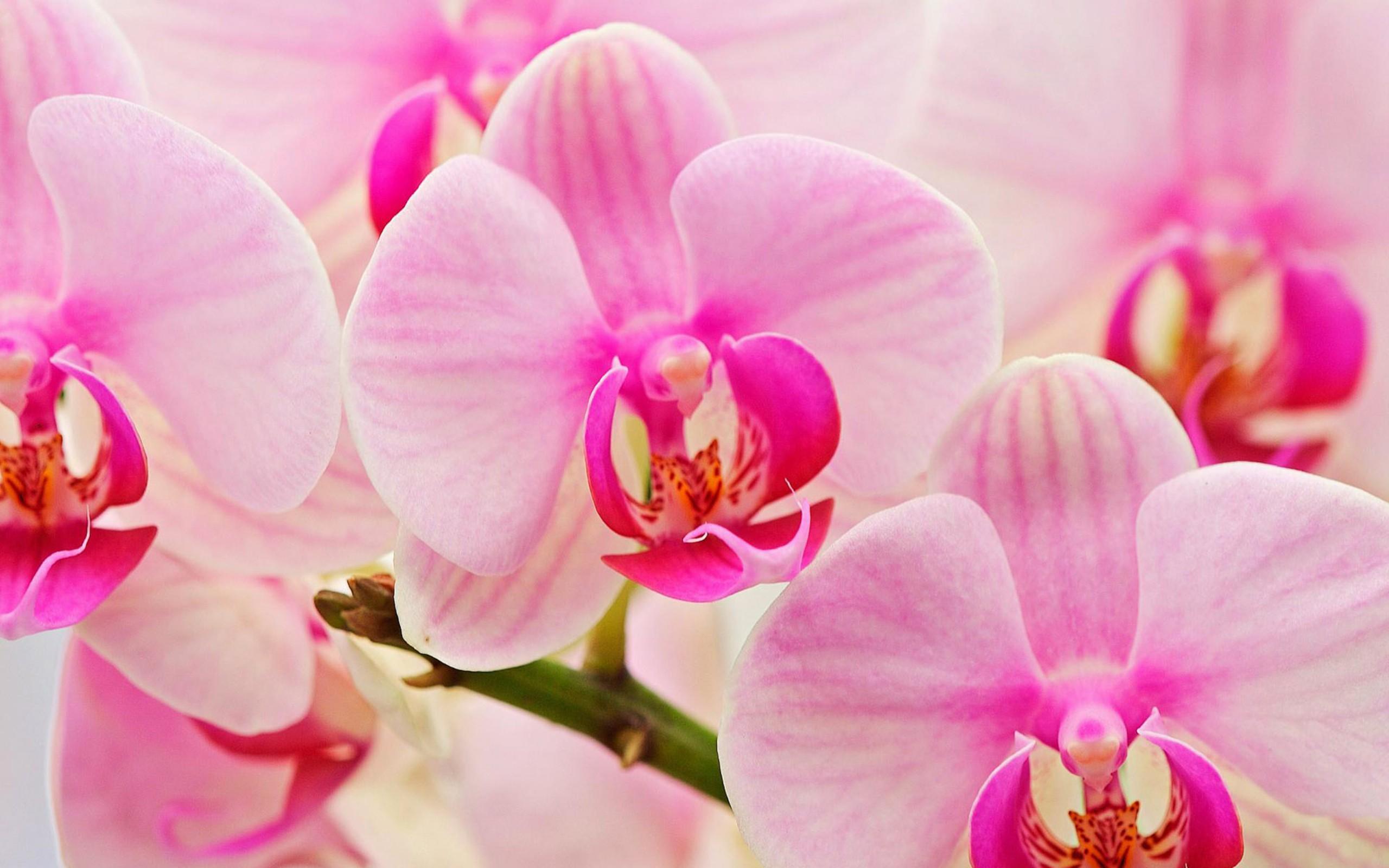 Фотообои орхидеи на рабочий стол