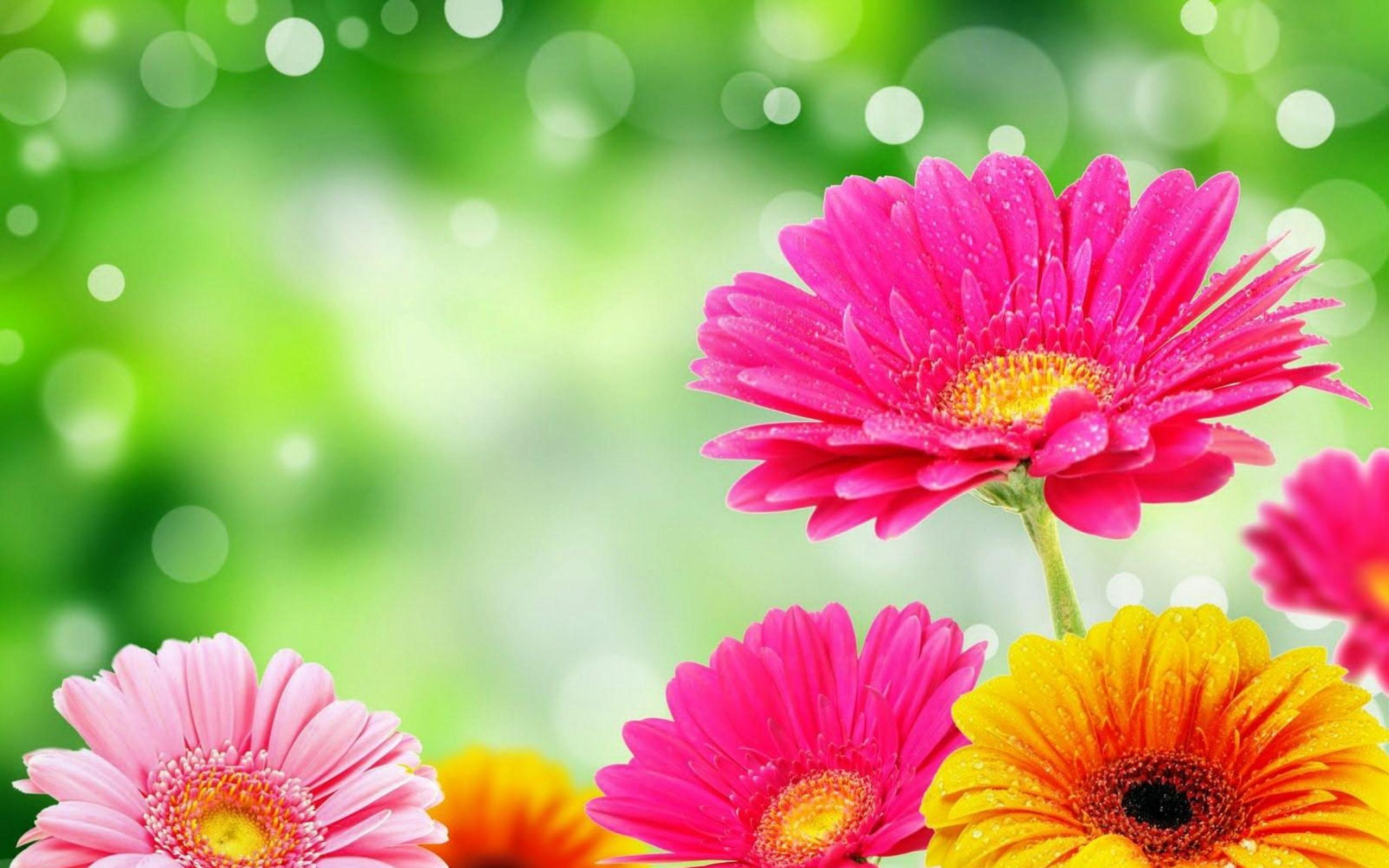цветы герберы на рабочий стол широкоформатные