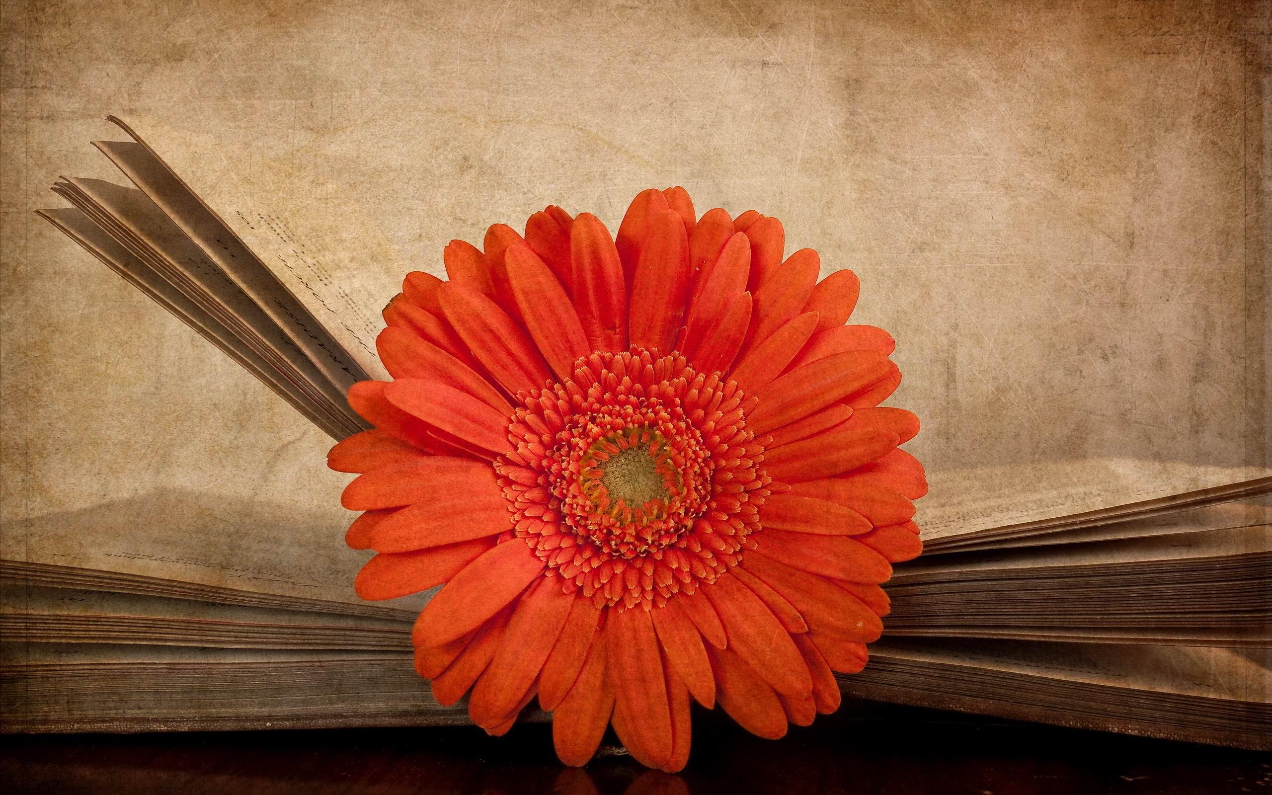 фото герберы оранжевые