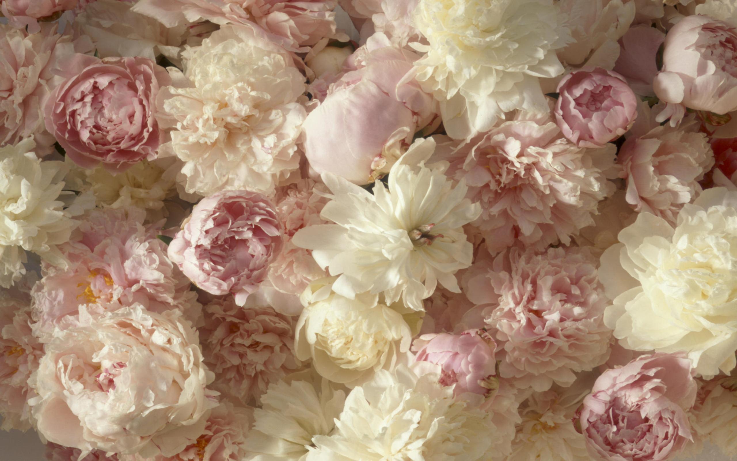 Фото цветов пионы обои