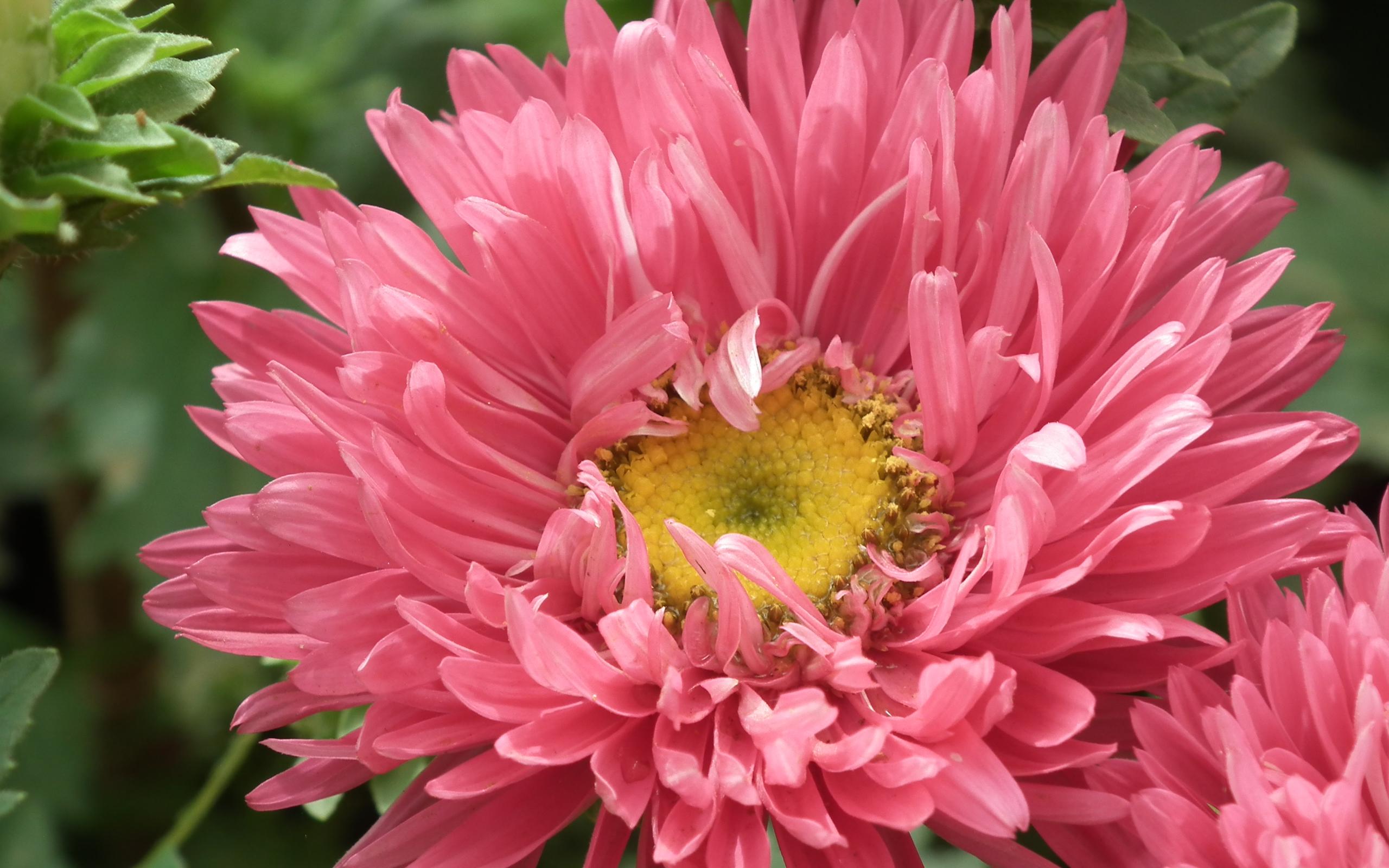 Обои цветы астры на рабочий стол