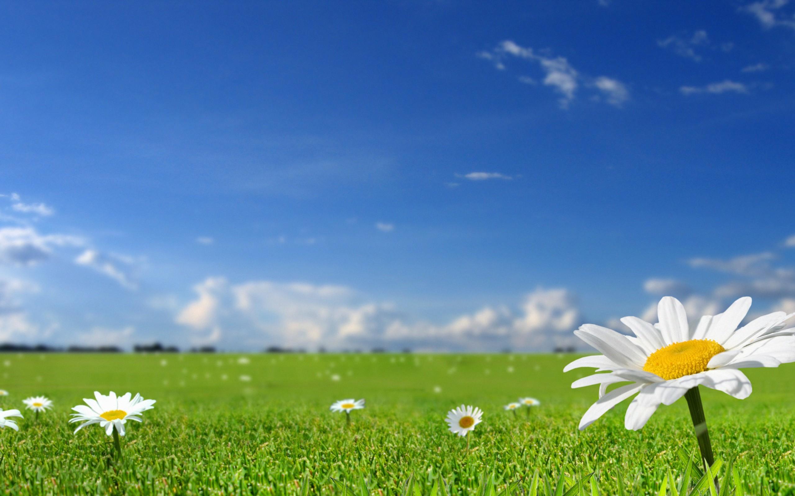 цветы в поле обои на рабочий стол