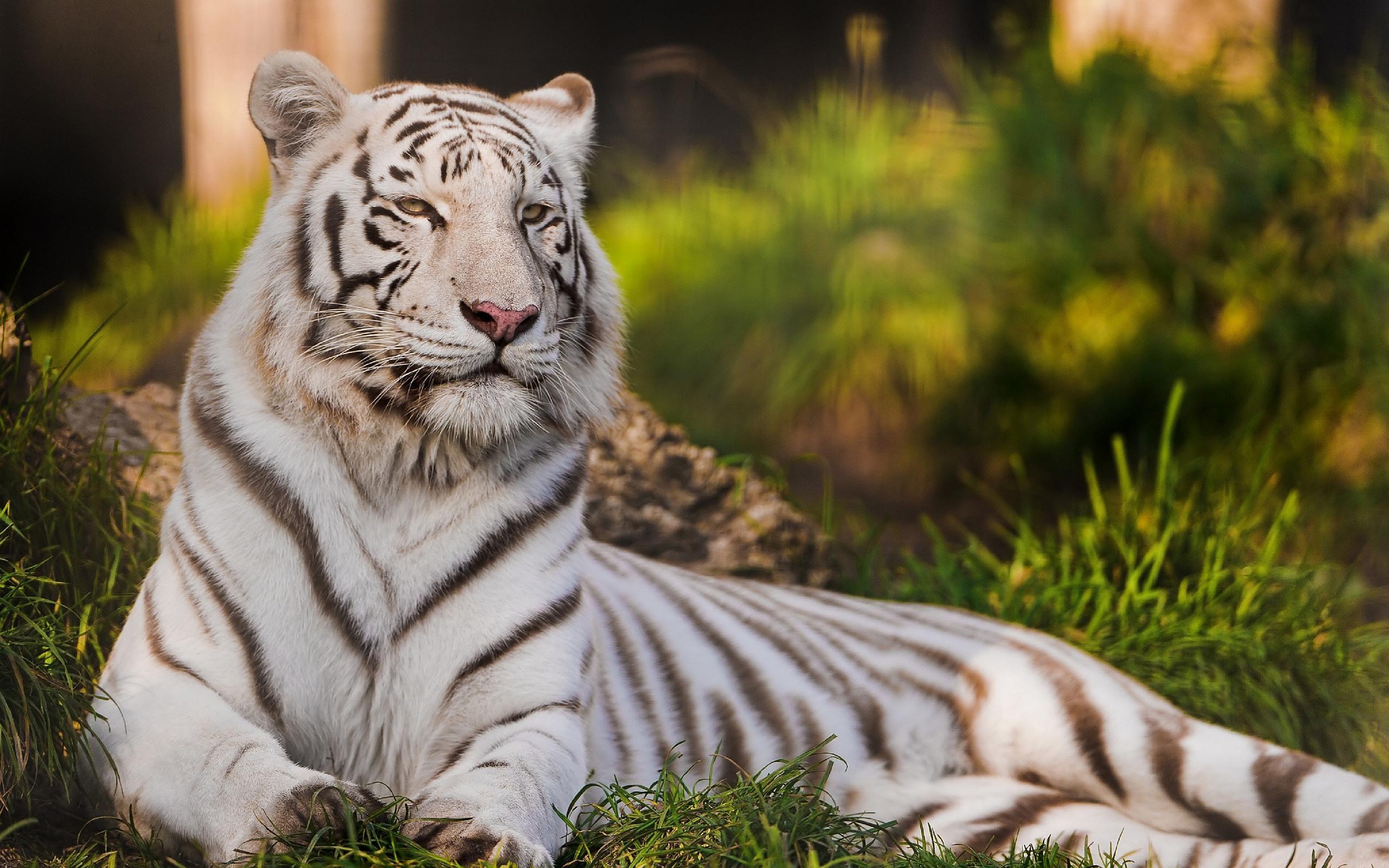 картинка белый тигр нарисованный