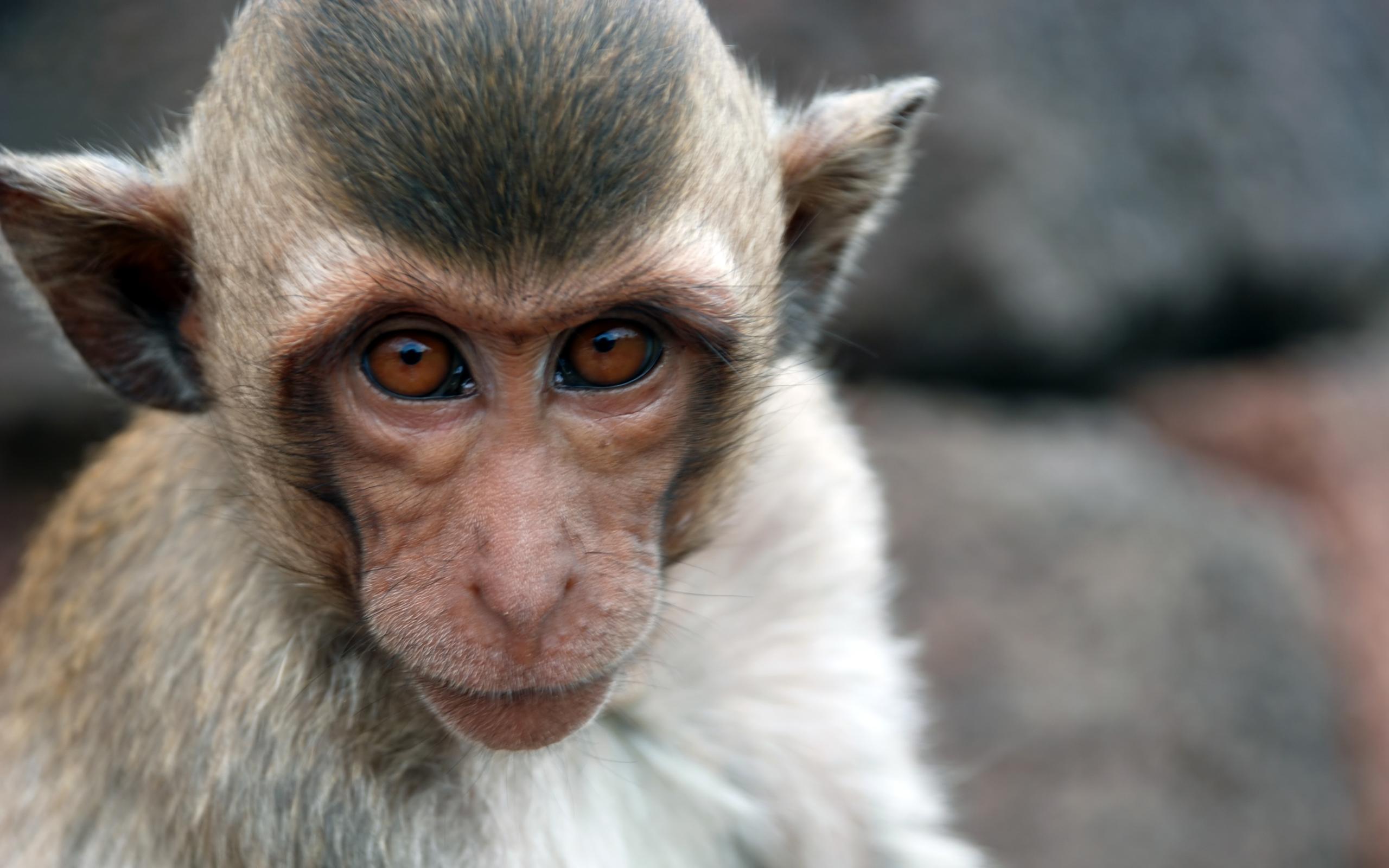 Фото обезьян высокого разрешения