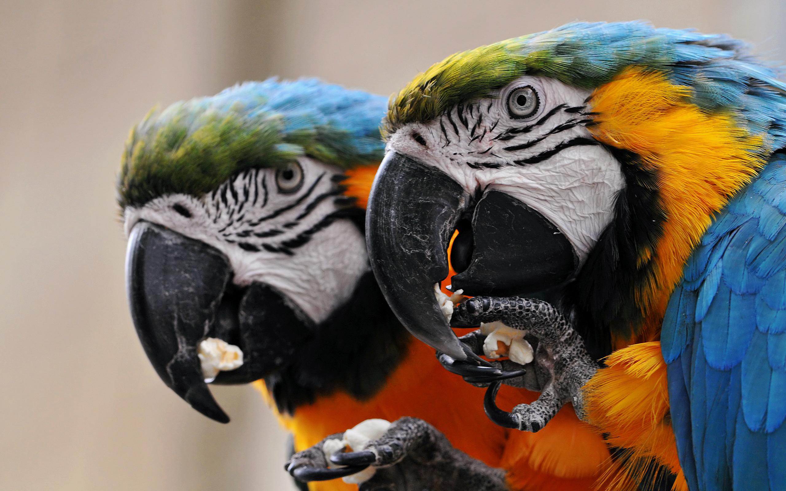 hd обои попугаи