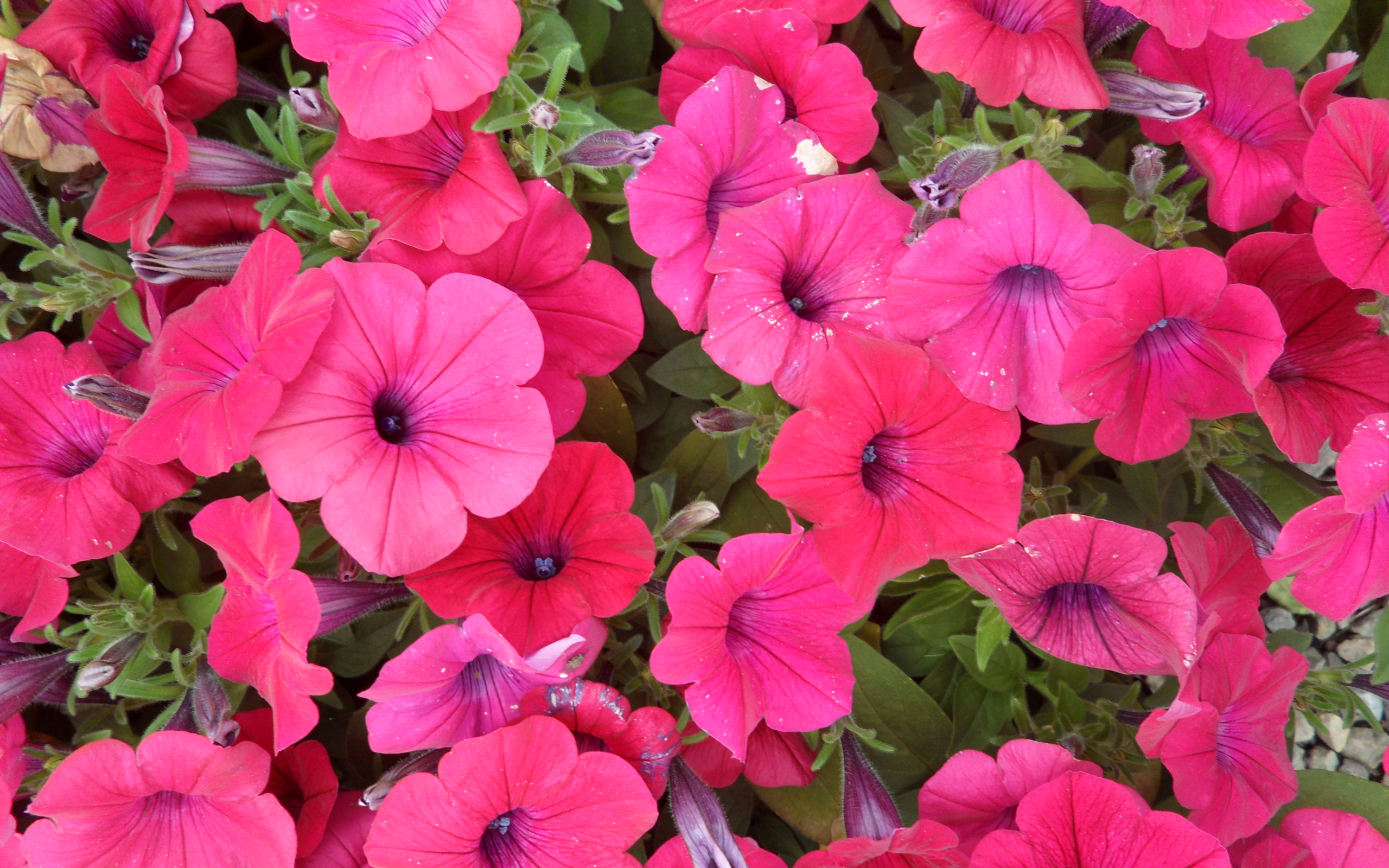 Петуньи цветы сорта