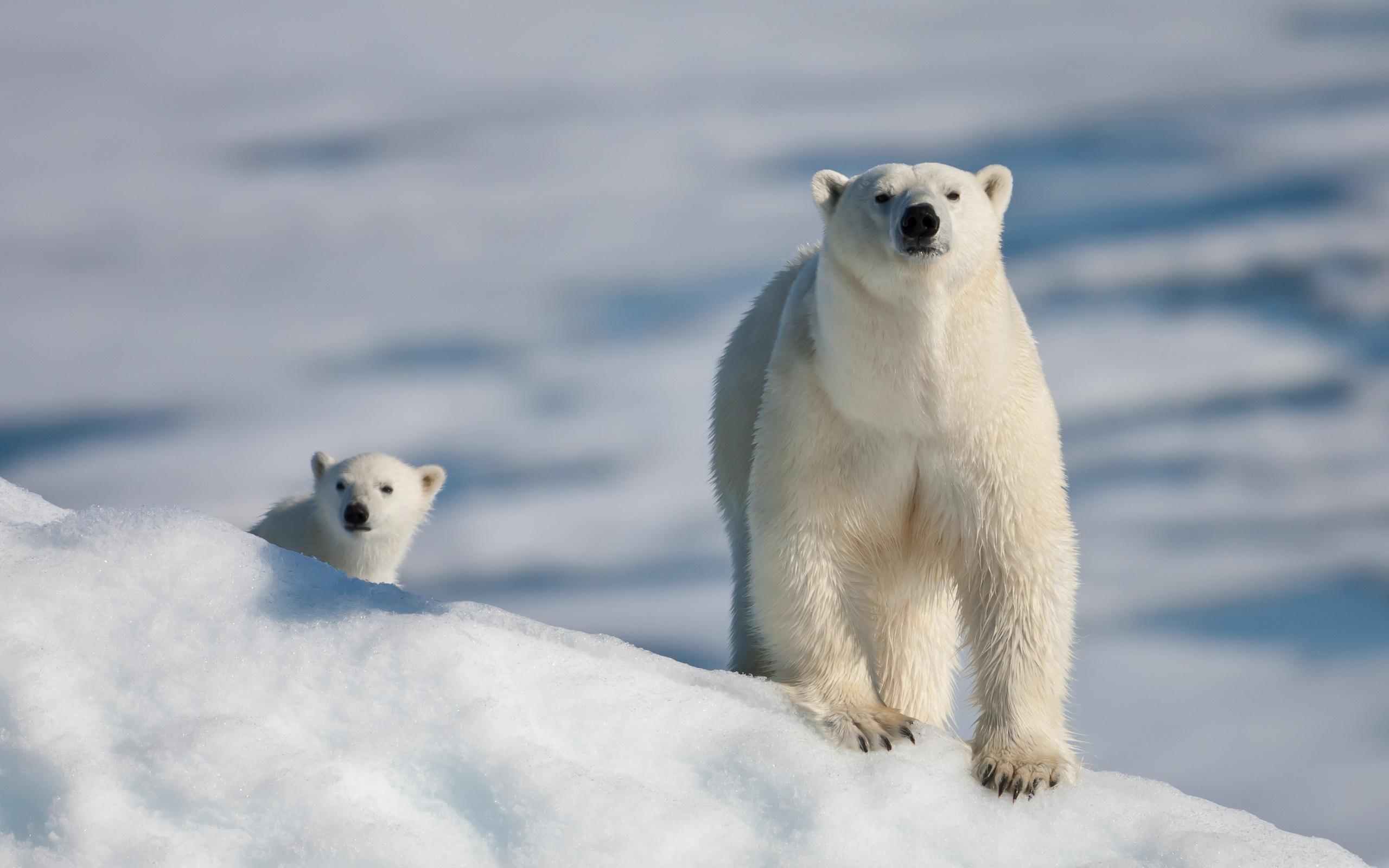 Белая медведица с медвежонком фото