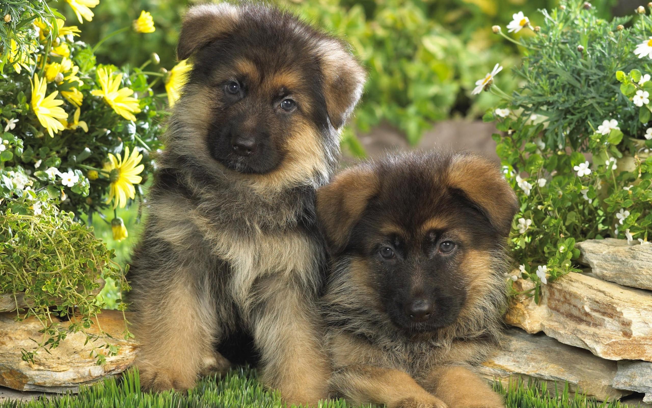 Собака немецкая овчарка (40 фото)! » картинки и фото приколы.