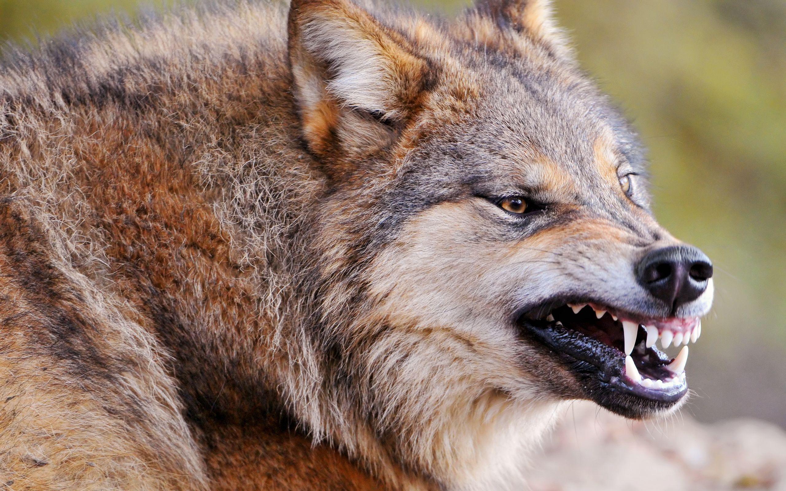 Злой волк скачать - db3a