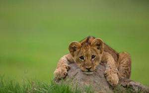 Забавный львенок