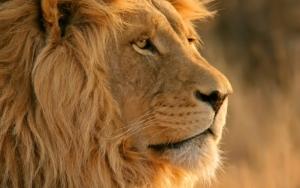 Глаза льва