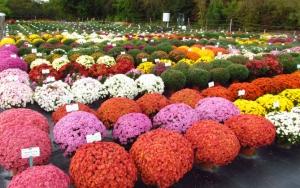 Кустровые хризантемы