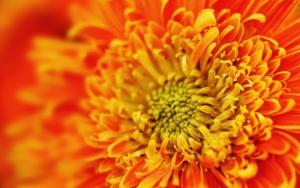 Хризантема макро