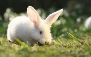 Белый длинноухий кролик