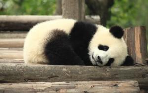 Панда спит
