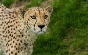 Молодой гепард