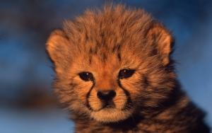 Маленький гепард