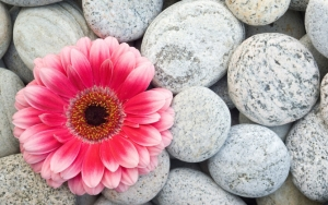 Гербера на камнях