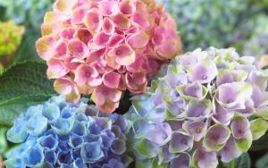 Разноцветные гортензии