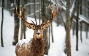 Олень зимой в лесу