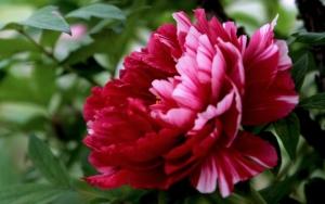 Красный цветок пиона