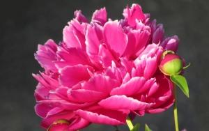 Цветок пиона макро