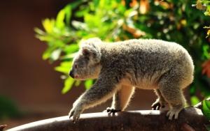 Медведь коала