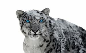 Злой снежный барс