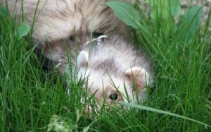 Хорек в траве
