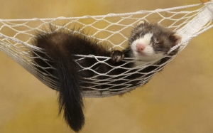 Хорек спит в гамаке
