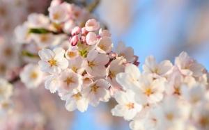 Бело-розовая сакура