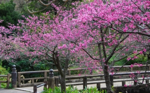 Деревья сакуры