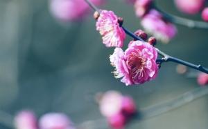 Цветок на ветке сакуры