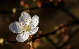 Белый цветок сакуры