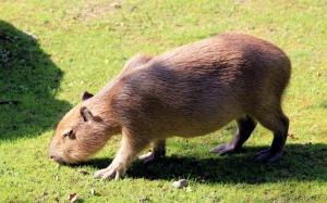 Капибара пасется на траве