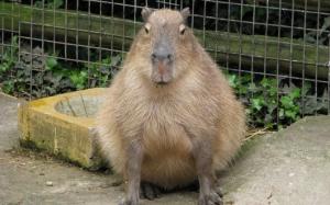 Толстая капибара