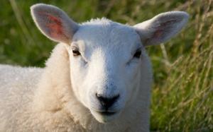 Забавная овца