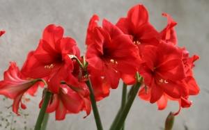Огненно-красные амариллисы
