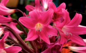 Розовые амариллисы