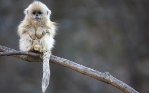 Пушистая обезьянка