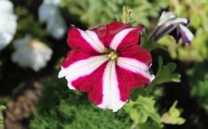 Двухцветная петуния